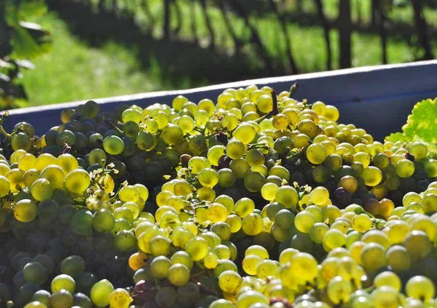 vigna-uva-nostri-prodotti